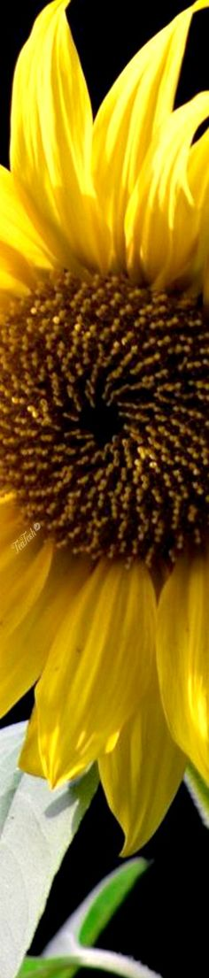 May Flowers, Beautiful Flowers, Sunflower Fields, Color Boards, April Showers, Coral Blue, Sunflowers, Heavenly, Cottages