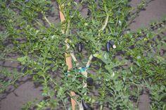Australian Finger Lime - One Year-Old Tree