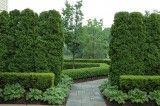 cedars, boxwood hedge