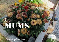 Caring for Mums, don't toss them away keep them blooming year after year.   Garden Up Green