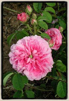 Henri Fouquier est un buisson de 1m à port dressé, aux fleurs doubles, d'un rose moyen frais, bien parfumées. Non remontant. Gallique, antérieur à 1842, obtenteur inconnu.
