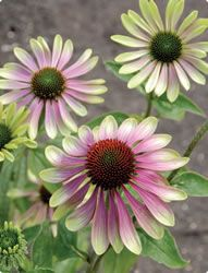 This color is spectacular!  Coneflower - Green Envy