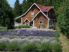 Shingle cottage and lavendar