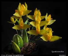 lycaste Orchid species | Home / Studio images / Orchids / Orchid Species / stud50632