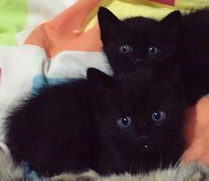 I ❤️❤️❤️❤️❤️ black kitty's! Baby Black Cat, Cute Black Kitten, Black Kittens, White Cats, Cats And Kittens, Cute Puppies And Kittens, Kittens Cutest, Baby Animals, Funny Animals
