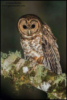 Rusty-barred Owl