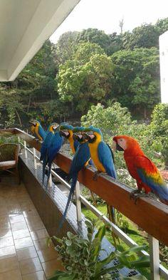 Las hermosísimas Guacamayas que vuelan libres por todos los cielos de mi bella Caracas ❤ #VenezuelaTierraBendita