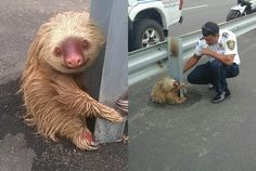 Ecuador Police Save a Tiny, Terrified Sloth on the Highway