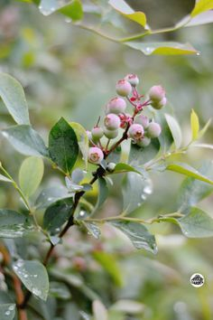 Blueberries may be the perfect small fruit for home gardeners.  The attributes are plentiful: minimal pruning, almost no insect or disease pests, great productivity of valuable fruit, adapted to a wide climate range.