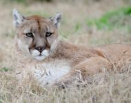 Alex --- Purchase this print! #turpentinecreek #cougar