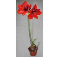 Кімнатна рослина - Гіппеаструм, амарилліс