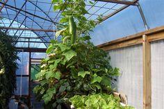 ap cucumbers& beans (Medium).JPG