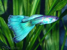 Metallic Blue Male Guppy, Featured item 10/09. #metallic #blue #male #guppy #fancy #fish #petfish #aquarium #freshwater #featureditem