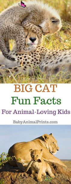 Big Cats From Around the World Big Cat Fun Facts for animal-loving kids from BabyAnimalPrints.com!<br> Our new educational video series for kids highlights wild animals that Suzi has photographed throughout her career. Our first in the series features Big Cats.