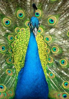 She loved to see a peacock with his tail displayed.