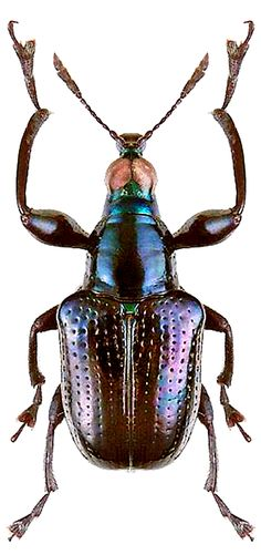 Parasynaptopsis illegalovi (Riedel, 2006) F Attelabidae