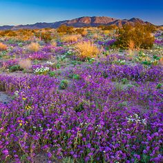 Search for wildflowers at Joshua Tree National Park