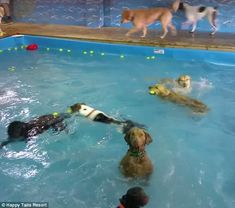 Playing on her own:In a recent video uploaded to Facebook by Virginia-based doggy daycare Happy Tails Resort, the cute pooch, named Beja, is completely unaffected by the splashing and fun happening around her