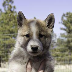 West Siberian Laika / Zapadno-Sibirskaïa Laïka #Dogs