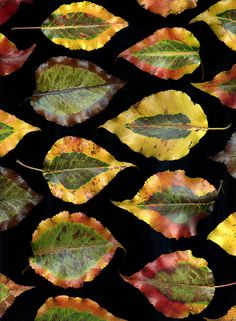 petitcabinetdecuriosites:    36127 Pyrus calleryana (by horticultural art)