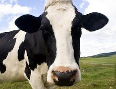 Research on A1 Milk vs A2 Milk, Jersey cows, raw milk, inflammation diseases, and more.