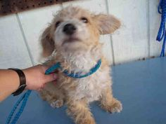 OC Animal Care Center  Pet ID: A1371443  Sex: M Age:  Color: BROWN - WHITE  Breed: BORDER TERRIER - MIX  Kennel: 050