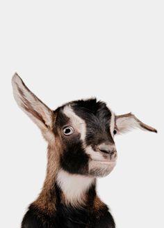 « Goat » par Paws & Claws | #Animaux #Animauxdomestiquesetdelaferme #Artpourenfants #Blanc #Marron #JUNIQE | Plus daffiches sur www.juniqe.fr Goats, Collage, Kid Friendly Art, Event Posters, White People, Animaux, Collages, Collage Art, Goat