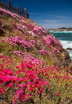 Ice plants on the Mendocino coast, CA