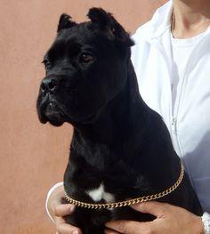 #Cane #Corso puppy