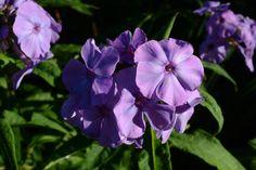 Syysleimu | Vesan viherpiperryskuvat – puutarha kukkii