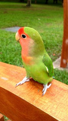 Peach-faced lovebird. i want one for Christmas but probably wont get it.