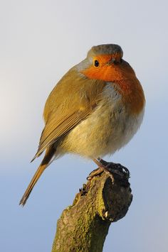 Fluffed Up Poser by Simon Sharrocks on 500px - robin