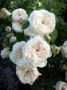 By maintaining an organic yard you are able to increase the care for your rose bush, plus keep your family, pets, and wildlife away from harmful chemicals