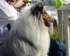 rough-collie-dog-profile.jpg (615×494)