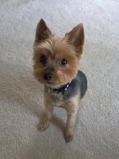 TOBY - Yorkshire Terrier available for adoption in Michigan. Toby is a genuine gift of love.... At 10 years of age Toby's person was forced to find him a new home due to a job transfer out of the country and has asked RetroDoggy Rescue to help. This delightful, well mannered little guy (4.5 lbs) is healthy, potty trained and very affectionate. Toby also gets along with other dogs and would be an awesome addition to a deserving family.Toby has just been vetted, had his dental and is good to…