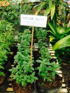 Spearmint Celery, Holi, Basil, Spices, Mint, Herbs, Vegetables, Plants, Naturaleza