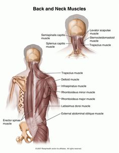 layers of muscles in the upper back   note position of most outer long muscle (erector spinea) to the shoulder blade