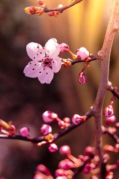 via 500px / Blossoms of spring II by frau_chica