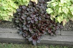 Find Mahogany Bugleweed (Ajuga reptans 'Mahogany') in Richmond Fairfax Loudoun Prince William Fredericks Virginia VA at Meadows Farms Nurseries (Carpet Bugle) Garden Border Edging, Garden Borders, Garden Shrubs, Garden Plants, Houston Garden, Meadows Farms, Alpine Garden, Gardening Zones, Gardening Blogs