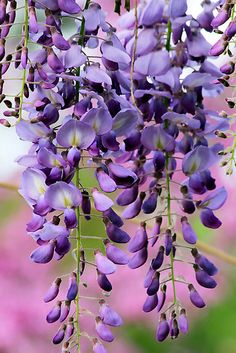 wisteria I had the most amazing , HUGE wisteria on my property in PA..... LOVE this flower!