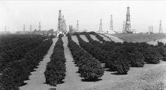 Orange fields and oil derricks, Tustin, California, 1940's. OCHS archives.
