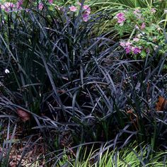 ophiopogon japonica nigra - Black Mondo Grass