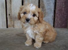 Cavapoo breeder Riverside Puppies 1st generation