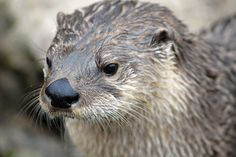 North American River Otter - CNP_3361   Flickr - Photo Sharing!