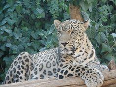 Persian leopard (Panthera pardus ciscaucasica)