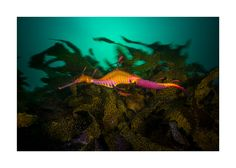 Weedy Sea Dragon with eggs Weedy Sea Dragon, Water Life, Eggs, Gallery, Shop, Animals, Animales, Roof Rack, Animaux