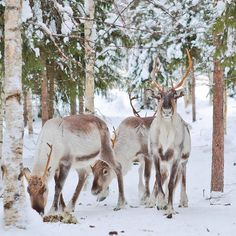 You will meet real local reindeer farm family with their reindeer. You are introduced to reindeer´s year with stories and get to feed reindeer in their fences. We also may try some working techniques of reindeer herding. Reindeer, Horses, Explore, Animals, Animales, Animaux, Animal, Animais, Horse