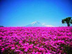 Mt.Fuji with moss phlox / 最強コラボはどれ?何度でも行きたい富士山おすすめ撮影スポット! | 山梨県 | [たびねす] by Travel.jp
