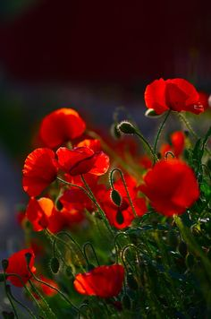 Poppies Fever by Vincent Dubarry