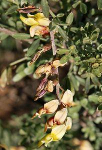 Wiborgia Sericea flowers         Silky-wing Pea           Syvlerkertjie         2-4 m        S A no 225,1